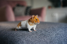 Ginger And White Hamster Explo...