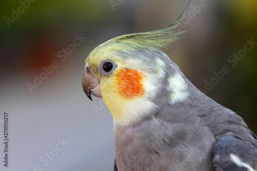 Valokuva  parrot on white background