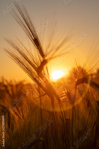 Photo  Ears of Wheat or Barley at Golden Sunset or Sunrise