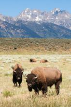 Wyoming Buffalo - Grand Teton National Park - Bison