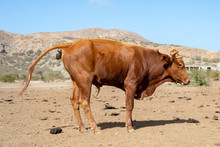 Pooping Brown Bull On The Isla...