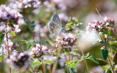 Montage in der Fensternische Blumenhändler butterfly on pink flowers