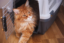Red Maine Coon Sitting In Cat ...