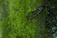 Bright Texture Of Green Moss Growing On A Forest Tree Trunk Close-up Background For Design