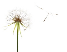 Dandelion Spores Blowing Isola...