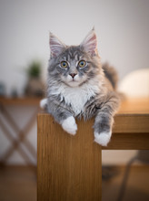 Blue Tabby Maine Coon Kitten Relaxing On Wooden Dining Table Looking At Camera Letting The Paws Hang Down