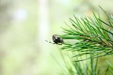 Argiope Spider On A Pine Branch