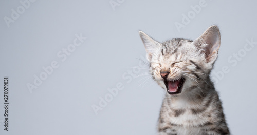 Photographie studio shot of 8 week old black silver tabby rosetted bengal kitten meowing in f