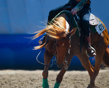 Chestnut Quarter Horse Closeup...