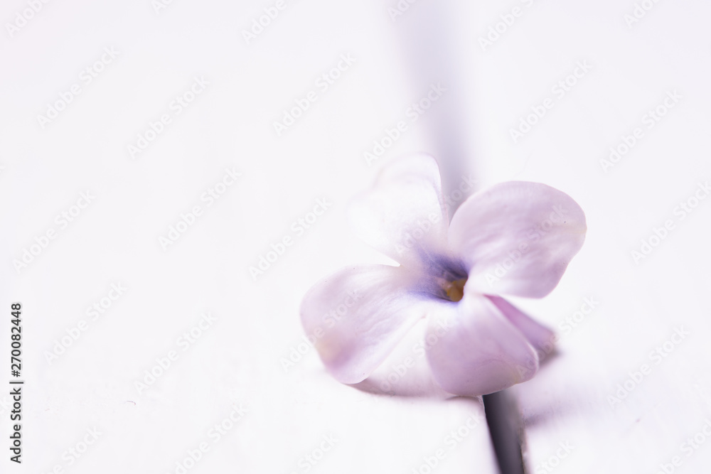 Fototapeta lonely lilac flower on white isolated background