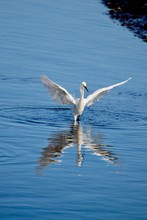 Egret With Wings Spread And Reflection In Water