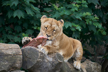 Lioness Eating Raw Cow Meat By...