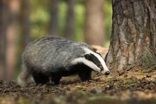 Meles Meles, Animal In Wood. European Badger, Autumn Pine Forest.