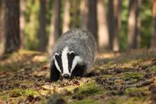 Badger Sniffing In Forest, Animal Nature Habitat, Czech. Meles Meles