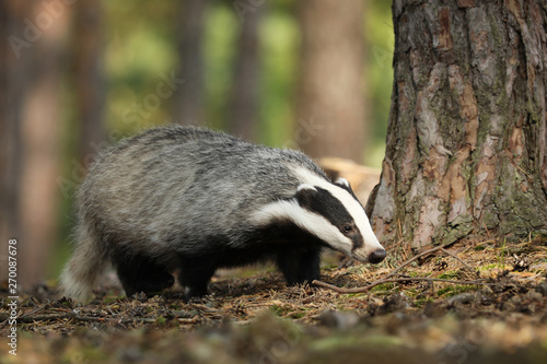 Canvas-taulu Meles meles, animal in wood. European badger, autumn pine forest.