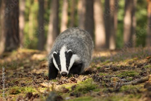 Obraz na płótnie Badger sniffing in forest, animal nature habitat, Czech