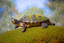 Yellow Bellied Slider Turtle In Natural Environment View