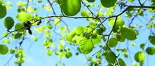 Erle - Blätterdach Im Sonnenschein