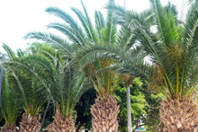 View Of Palm Tree, Stem And Branches Leaves In The Street . Phoenix Canariensis
