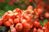 Fototapeta Kwiaty - Ozdobne, pomarańczowe kwiaty pigwowca japońskiego