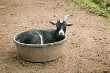 Goat Resting In A Bucket
