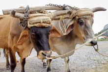 Oxen With Yoke Ready To Work