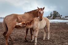 Mother Horse Nursing Her Foal