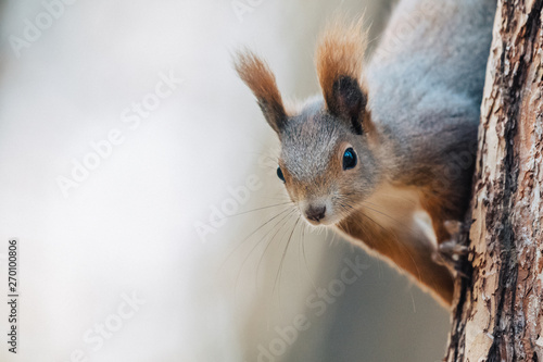 Fotobehang Eekhoorn Portrait of a cute red squirrel (Sciurus vulgaris)