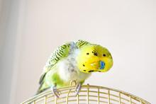Domestic Budgie Parrot, Poultr...