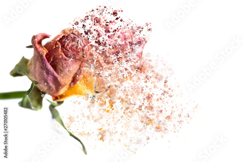 Fotografía A pink rose disintegrating into particles and waving fibers.