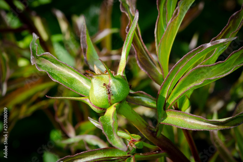 Fototapeta  A small ant infestation is covering the perennial peony flower buds before the b
