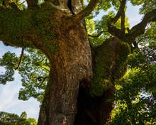 Big Trees In Japan