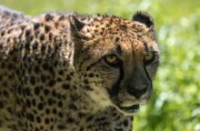 Cheetah Close Up At The Zoo