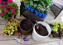 Flowering Annuals For Planting In Summer Garden Planters