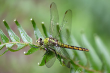 A Wet Female Pondhawk Dragonfly Perches On A Plant Close Up