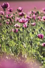Field Of Lilac Poppy Flowers In Sunlight In Early Summer