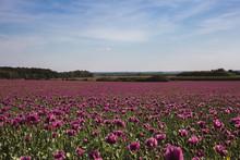 Field Of Lilac Poppy Flowers I...