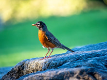 American Robin,Turdus Migrator...