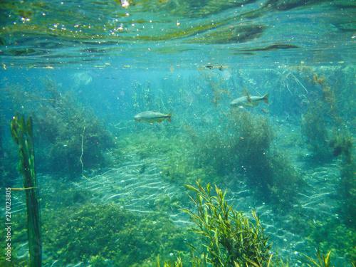 Fotografija  Underwater view with fishes and water plants at Sucuri river in Bonito, Mato Gr