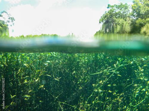 Fotografija  Half underwater view with water plants at Sucuri river in Bonito, Mato Grosso do