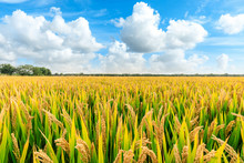 Ripe Rice Field And Sky Landscape On The Farm