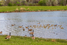 Canada Geese And Goslings In A...