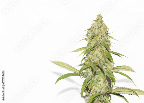 Marijuana Cannabis Plant Flower Isolated On White With Space For Text Canvas Print