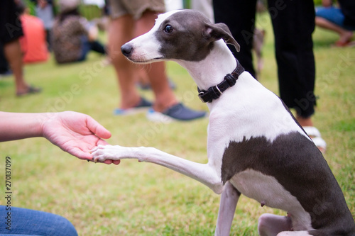 Photo Teach Italian Greyhound which wearing leather collar sitting in the summer park