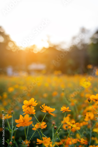 vertical image of orange and yellow cosmos flowers in garden field on evening time - 270140629