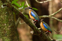 Pair Of Parent Pitta In The Wild,over The Shoulder Shot..Mangrove Pitta Birds Perching Side By Side On Rhizophora Tree With Crab In Beak For Feeding Their New Born Babies In Breeding Season.