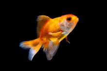 Gold Fish Or Goldfish Isolated...