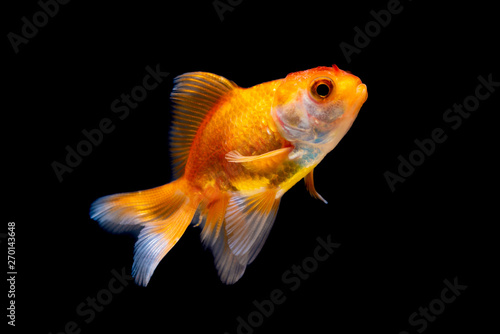 Gold fish or goldfish isolated on black background. Fototapet