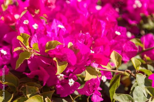 La pose en embrasure Rose Beautiful blooming bougainvillea in garden