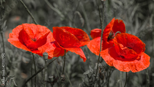 Fototapety, obrazy: Flowers Red poppies bloom in the wild field. Beautiful field red poppies with selective focus, soft light. Natural Drugs - Opium Poppy. Glade of red wildflowers